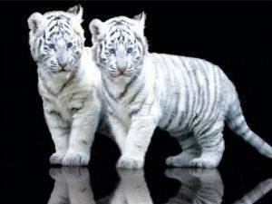 POSTER WHITE TIGER CUBS 61 X 91.5 CM