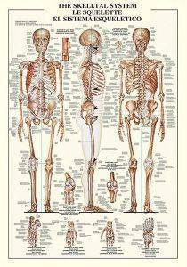 THE SKELETAL SYSTEM RICORDI 1000 ΚΟΜΜΑΤΙΑ