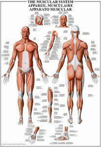 THE MUSCULAR SYSTEM RICORDI 1000 ΚΟΜΜΑΤΙΑ